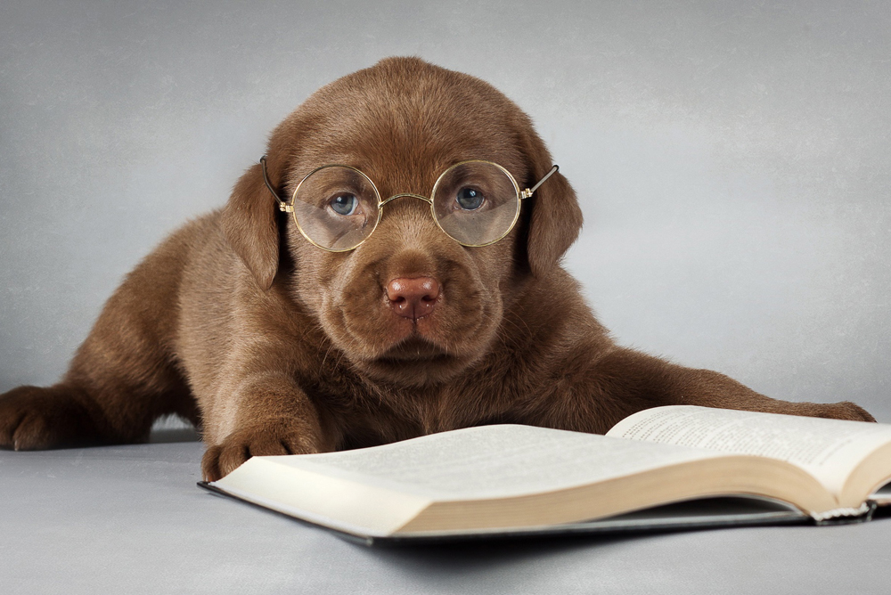 Labrador-dog-brown-read-a-book-glasses_1920x1200